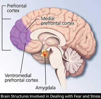 Corteza prefrontal del cerebro